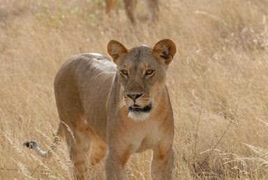 Leeuwen in Afrika
